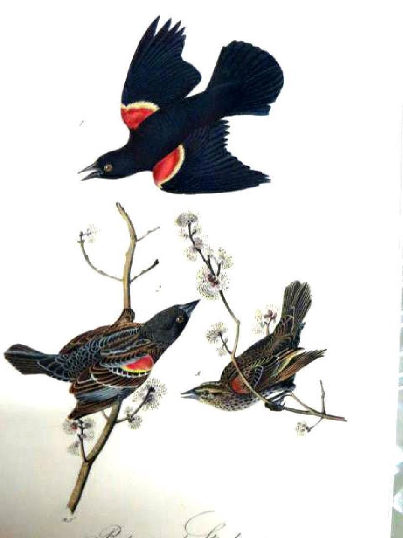 J.J. Audubon. Octavo. Red Winged Starling No.216