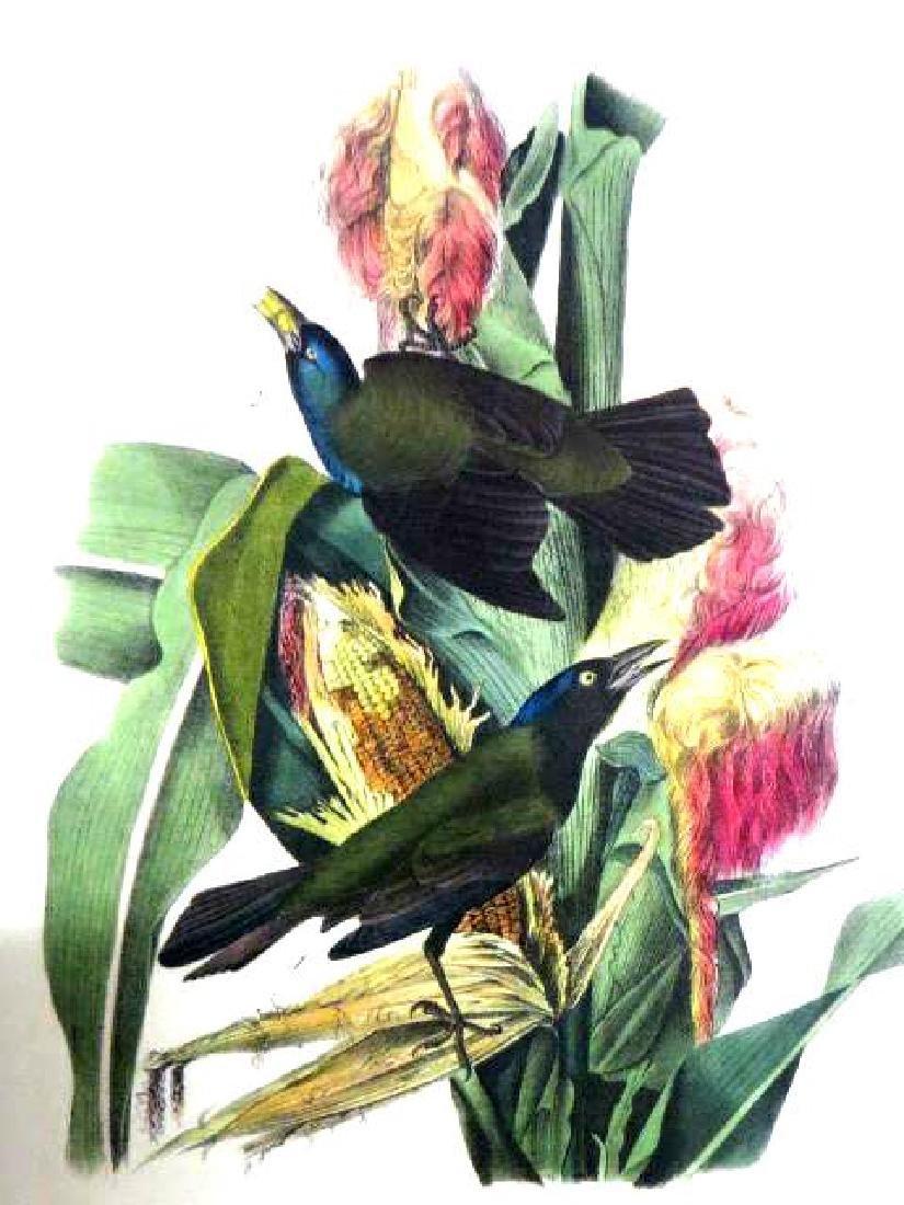 J.J. Audubon. Octavo. Common Purple Grow Black Bird