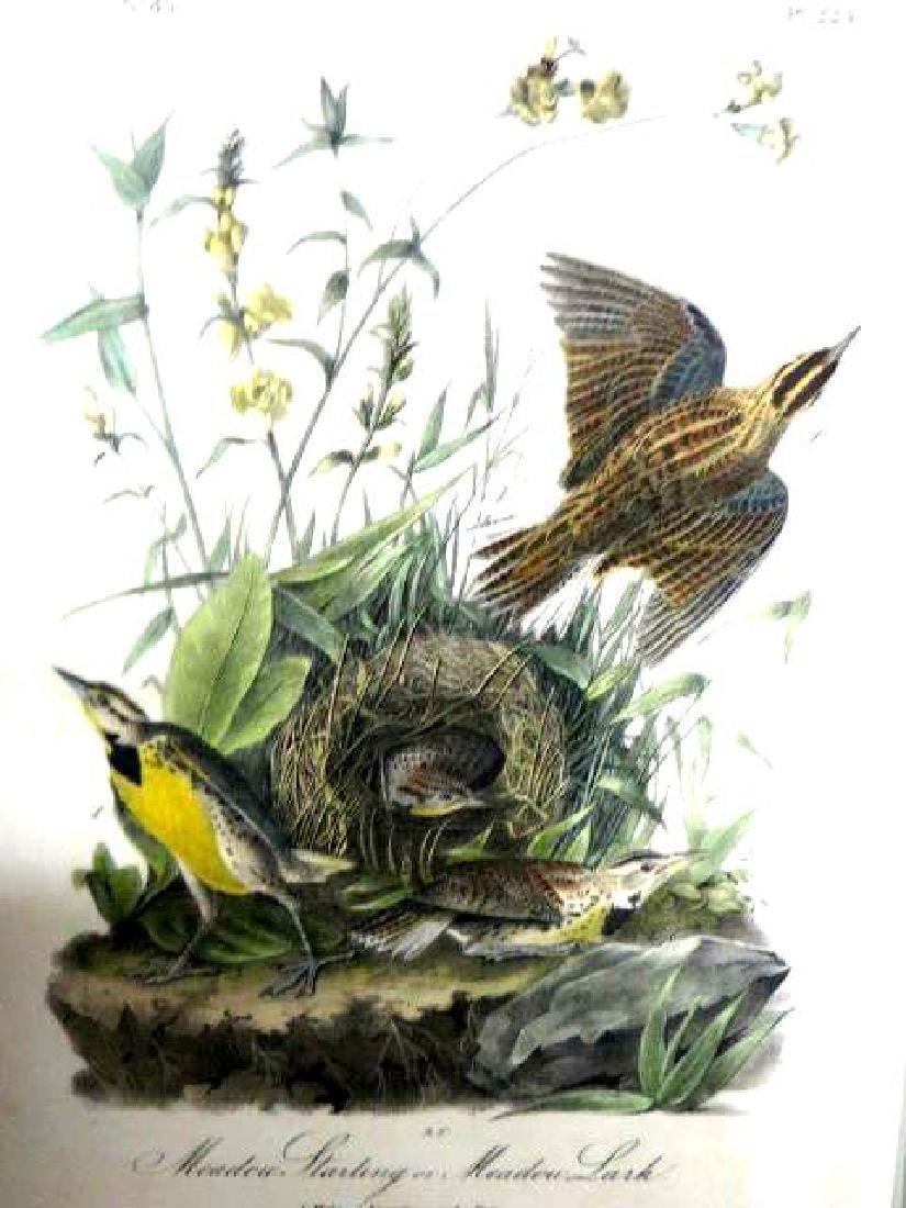 J.J. Audubon. Octavo. Meadow Starling or Meadow Lark
