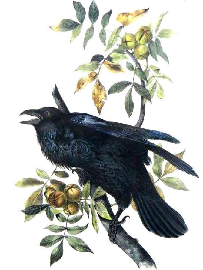 J.J. Audubon. Octavo. Raven No.224