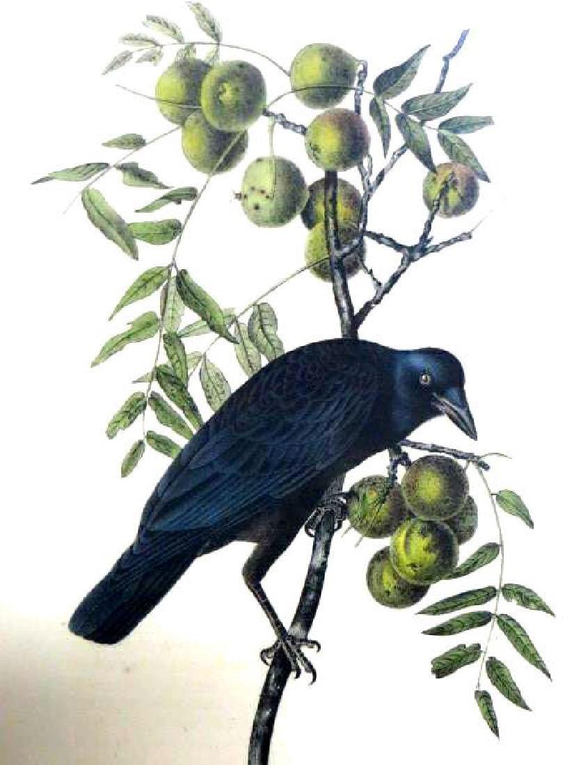 J.J. Audubon. Octavo. Common American Crow No.225