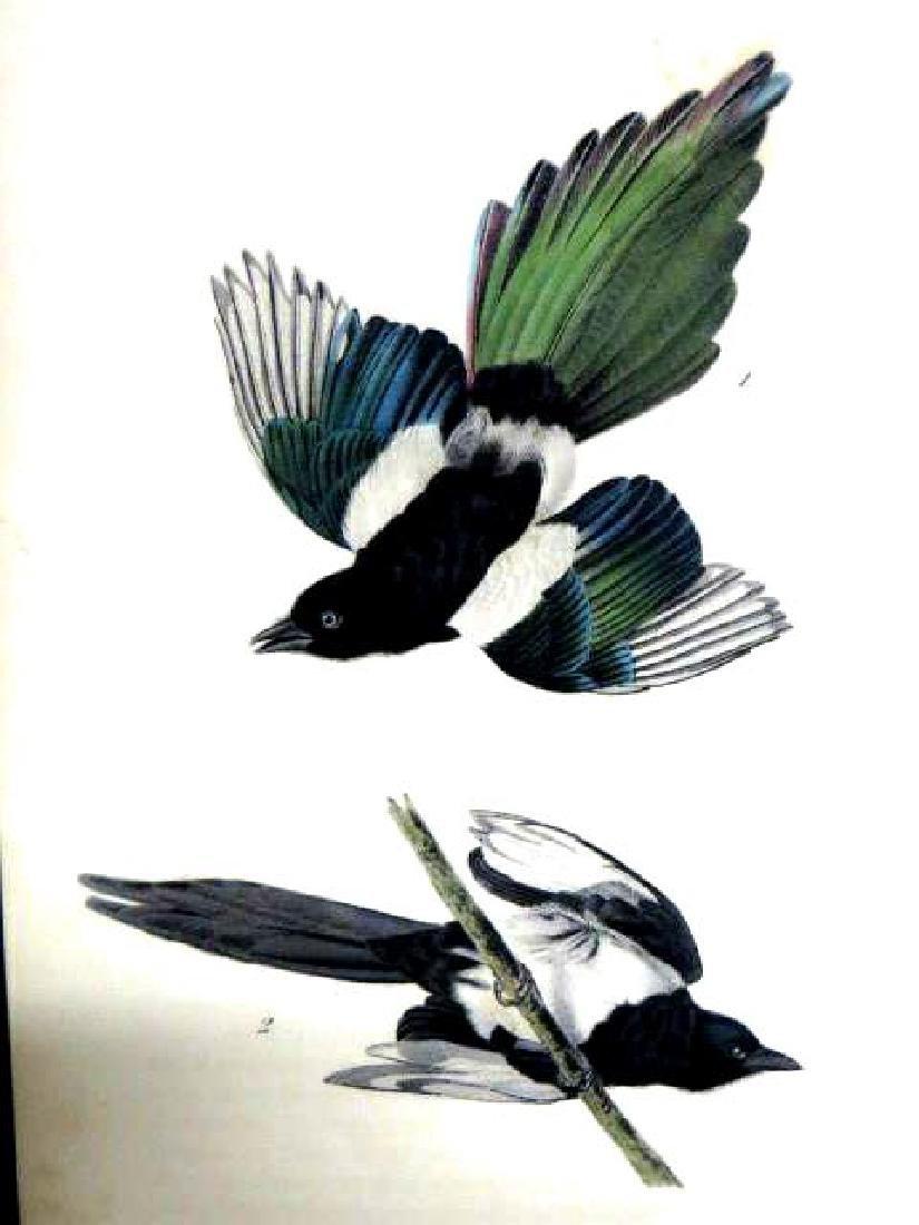 J.J. Audubon. Octavo. Common Magpie No.227