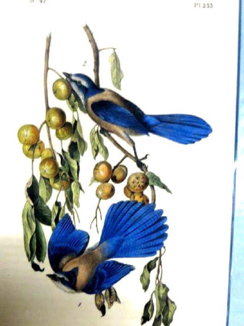 J.J. Audubon. Octavo. Florida Jay No.233