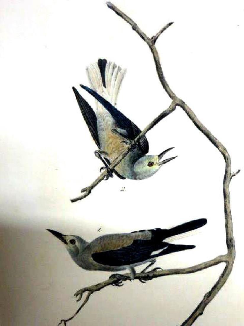 J.J. Audubon. Octavo. Clarke's Nutcracker No.235