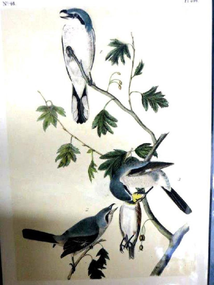 J.J. Audubon. Octavo. Great American Shrike No.236