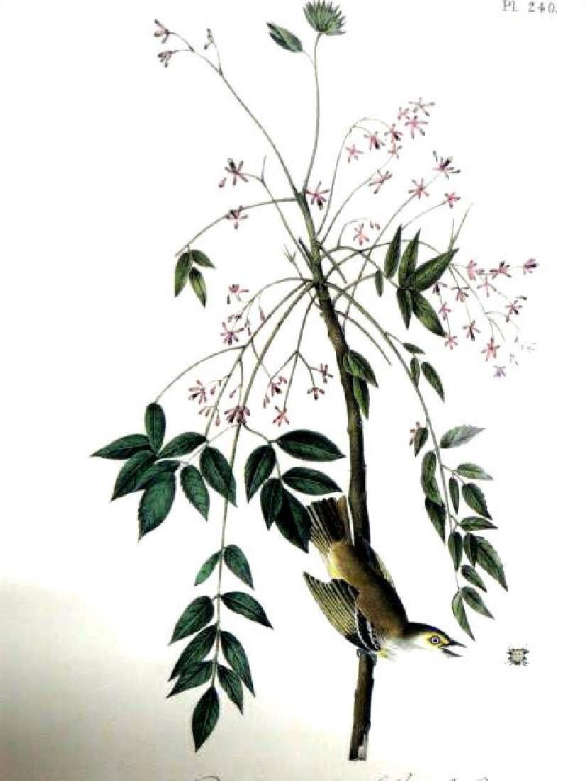 J.J. Audubon. Octavo. White Eyed Vireo Greenlet No.240