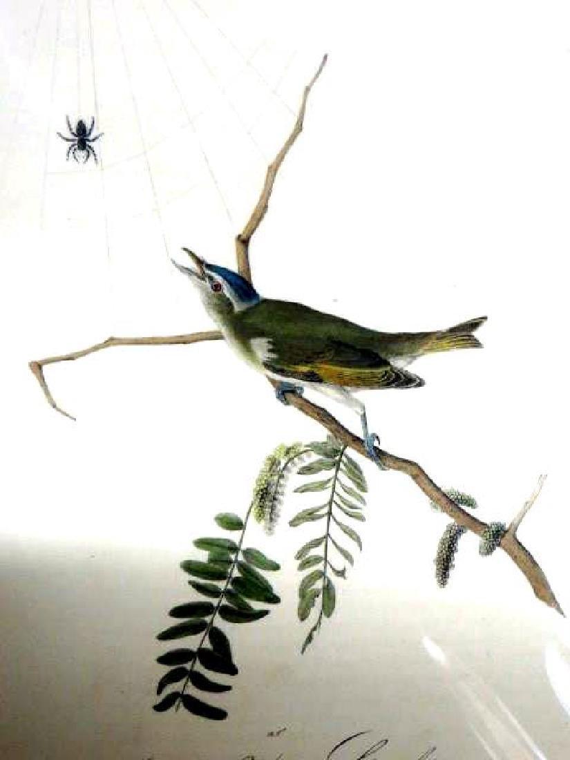 J.J. Audubon. Octavo. Red-Eyed Vireo or Greenlet No.243