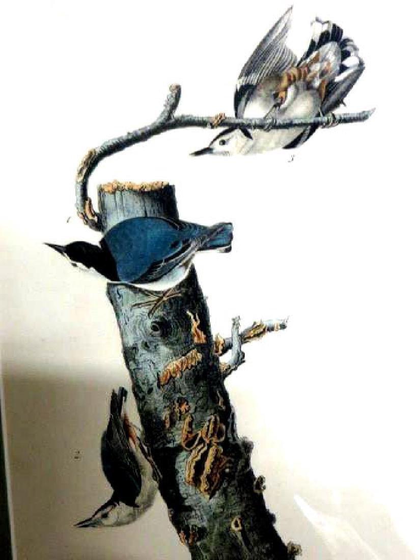 J.J. Audubon. Octavo. White-Breasted Nutcatch No.247