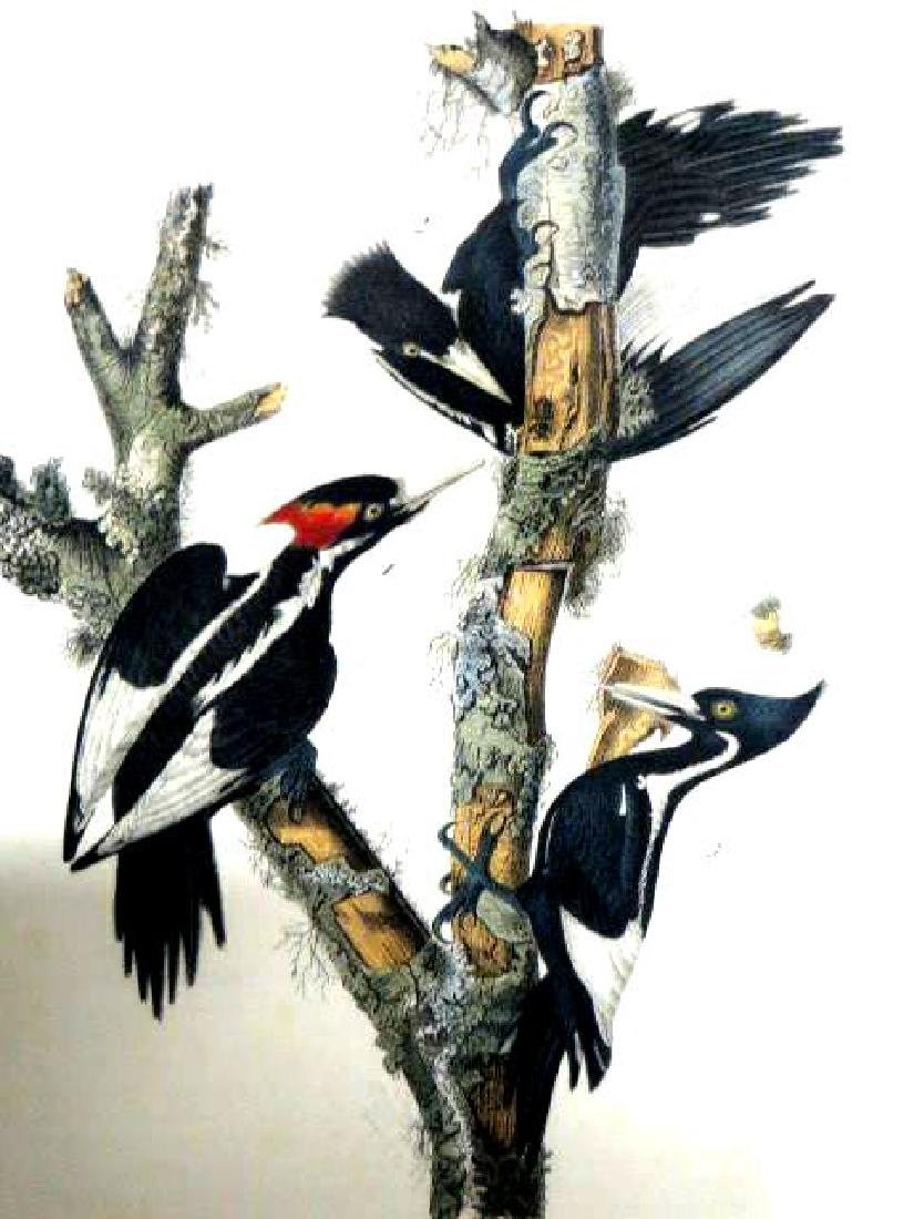 J.J. Audubon. Octavo. Ivory Billed Woodpecker No.256