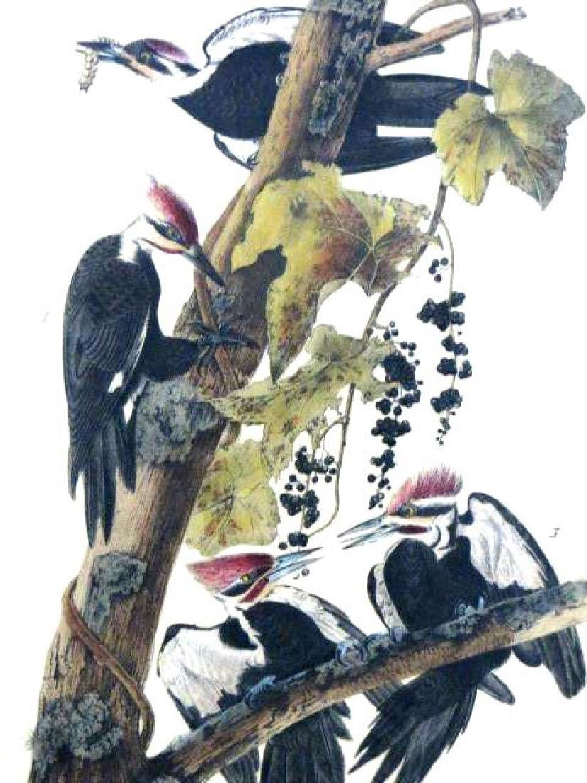 J.J. Audubon. Octavo. Pileated Woodpecker No.257