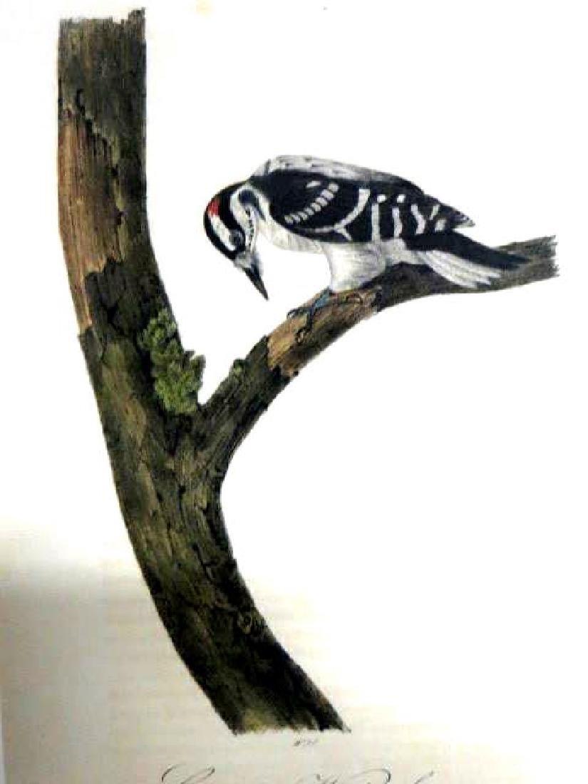 J.J. Audubon. Octavo. Canadian Woodpecker No.258