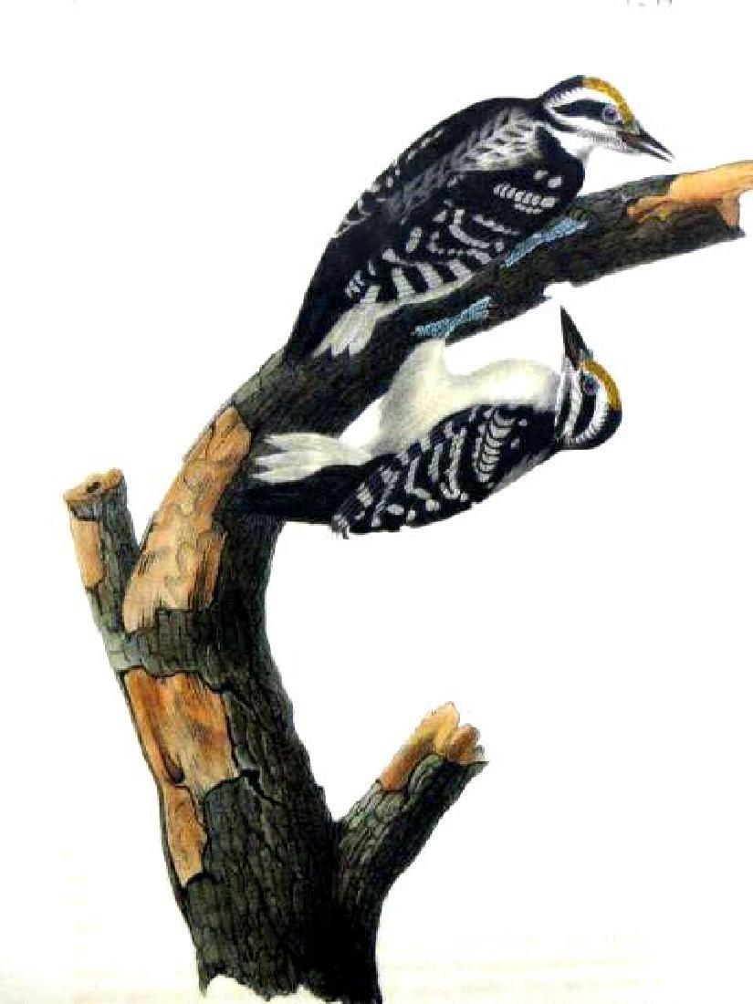 J.J. Audubon. Octavo. Phillip's Woodpecker No.259