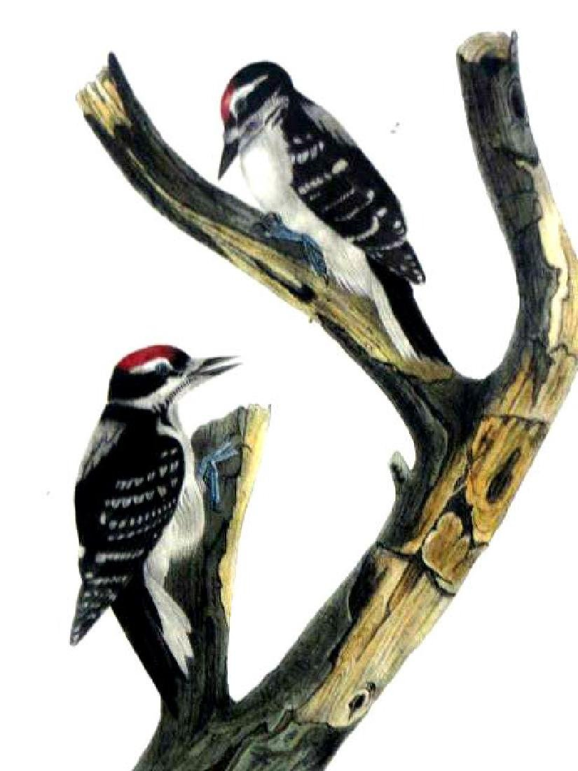 J.J. Audubon. Octavo. Marias Woodpecker No.260