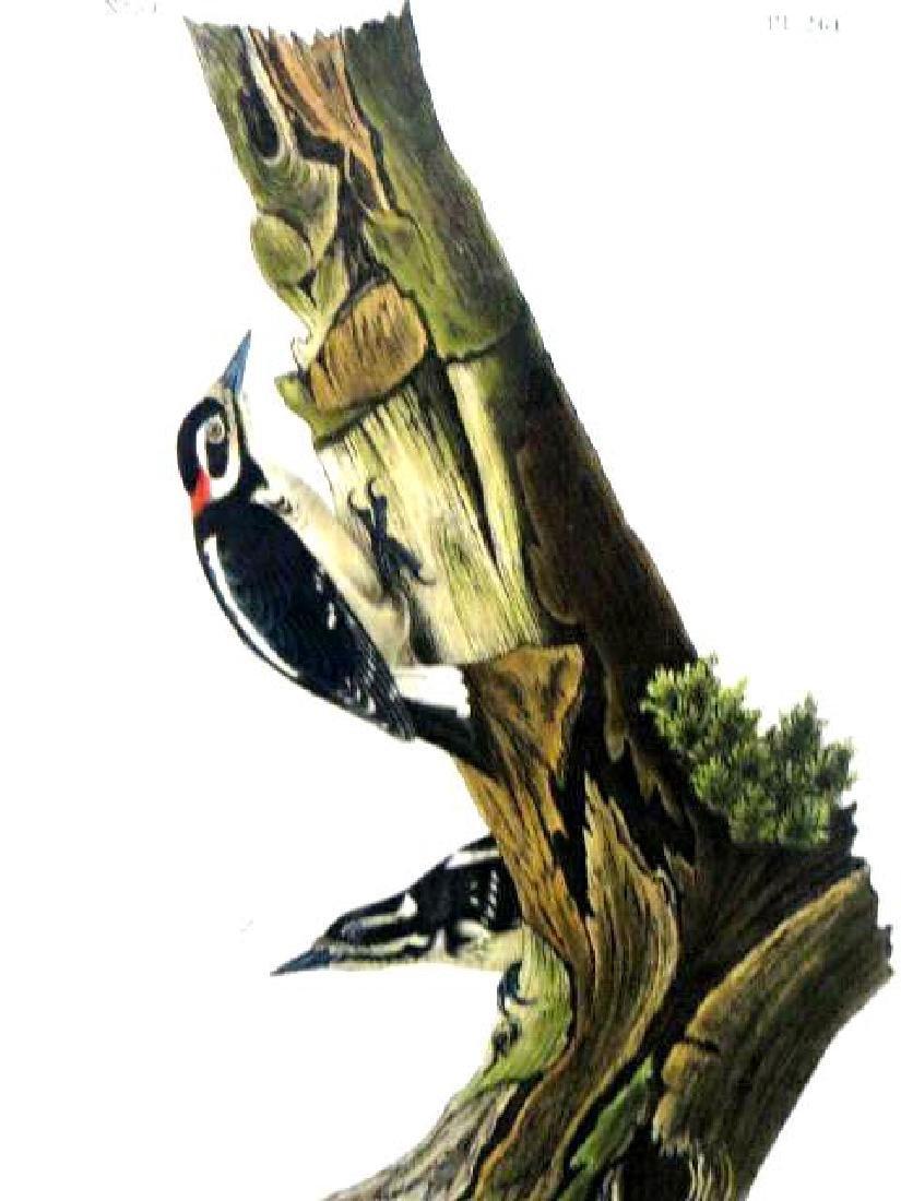 J.J. Audubon. Octavo. Harris's Woodpecker No.261