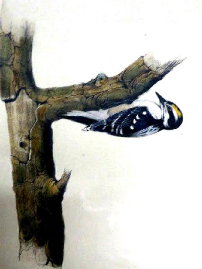 J.J. Audubon. Octavo. Audubons Woodpecker No.265