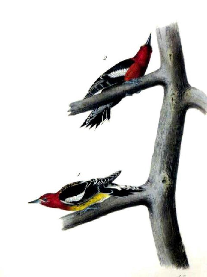 J.J. Audubon. Octavo. Red Breasted Woodpecker No.266