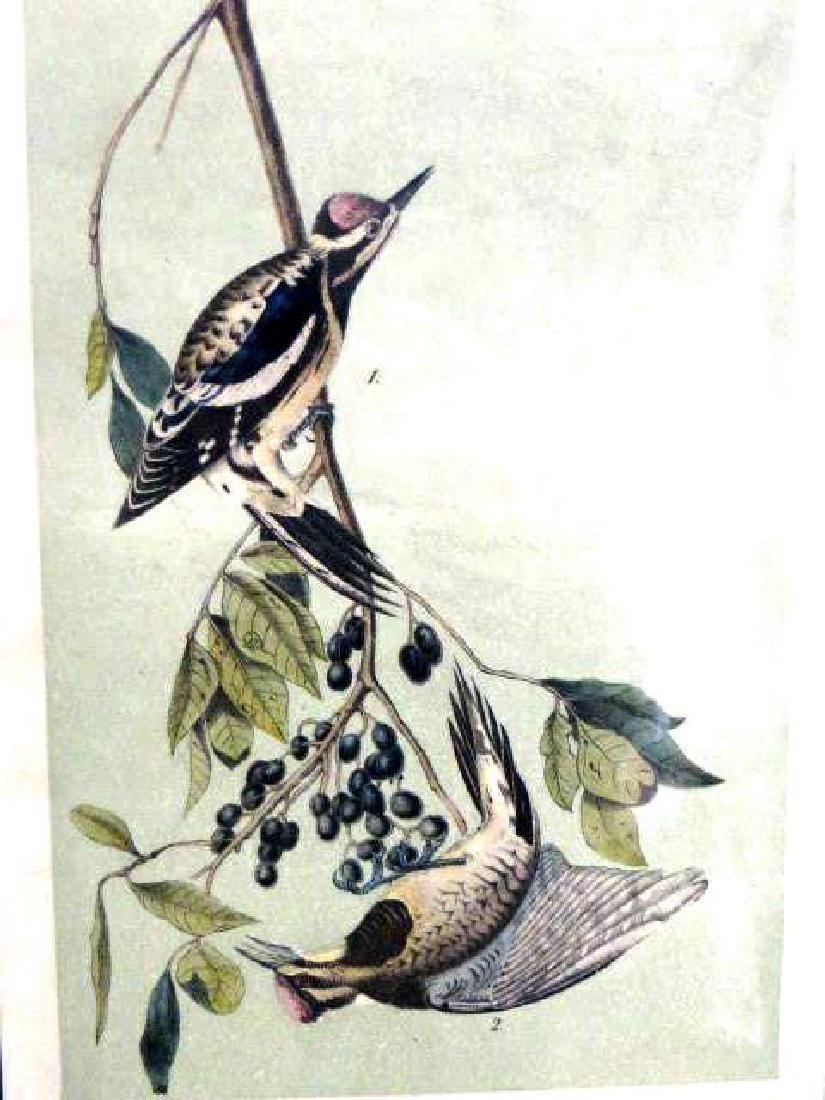 J.J. Audubon. Octavo. Yellow Bellied Woodpecker No.267