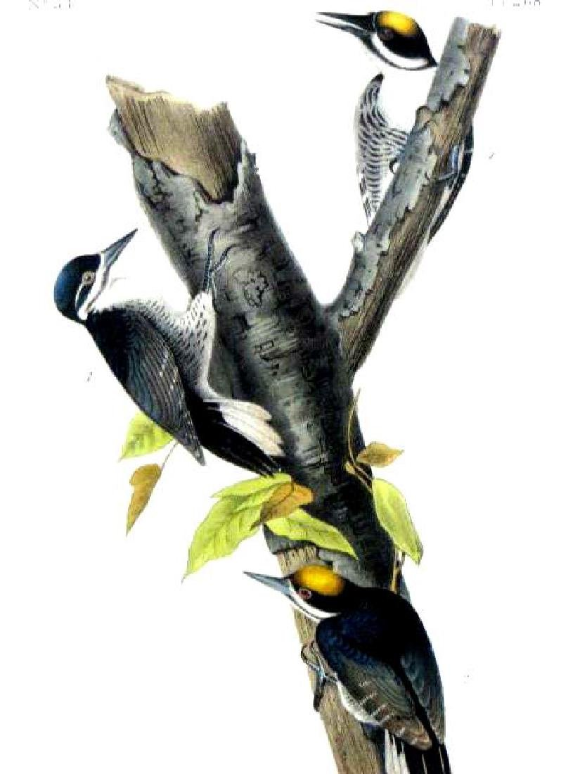 J.J. Audubon. Octavo. Arctic Three-Toed Woodpecker