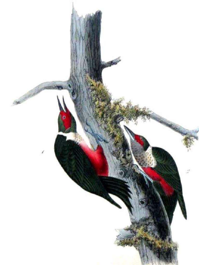 J.J. Audubon. Octavo. Lewis Woodpecker No.272 - 2