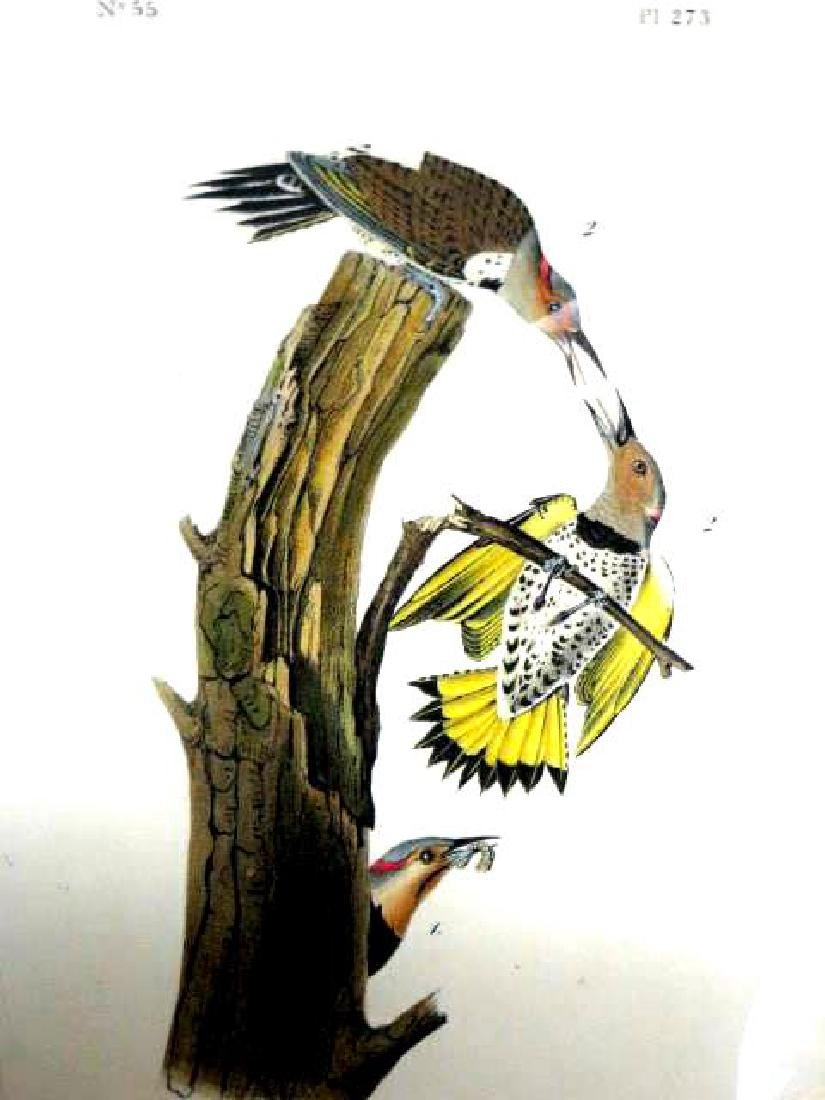 J.J. Audubon. Octavo. Golden-Winged Woodpecker No.273