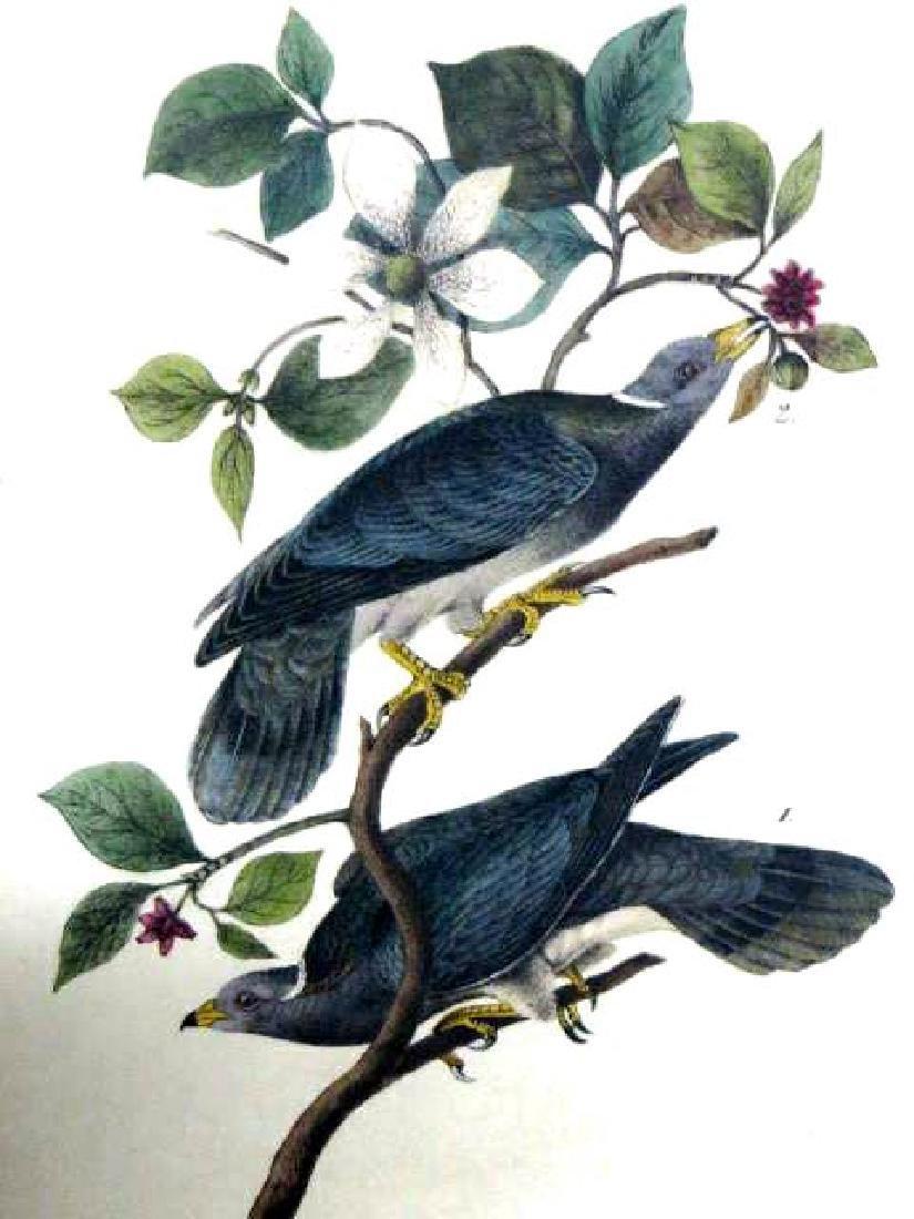 J.J. Audubon. Octavo. Band Tailed Dove or Pigeon No.279