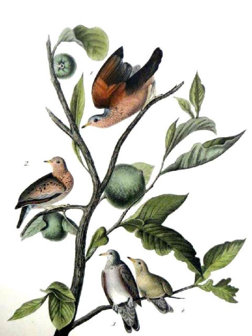 J.J. Audubon. Octavo. Ground Dove No.283