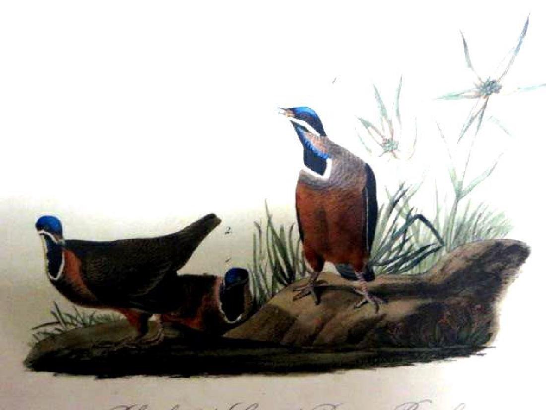 J.J. Audubon. Octavo. Blue Headed Ground Dove, Or