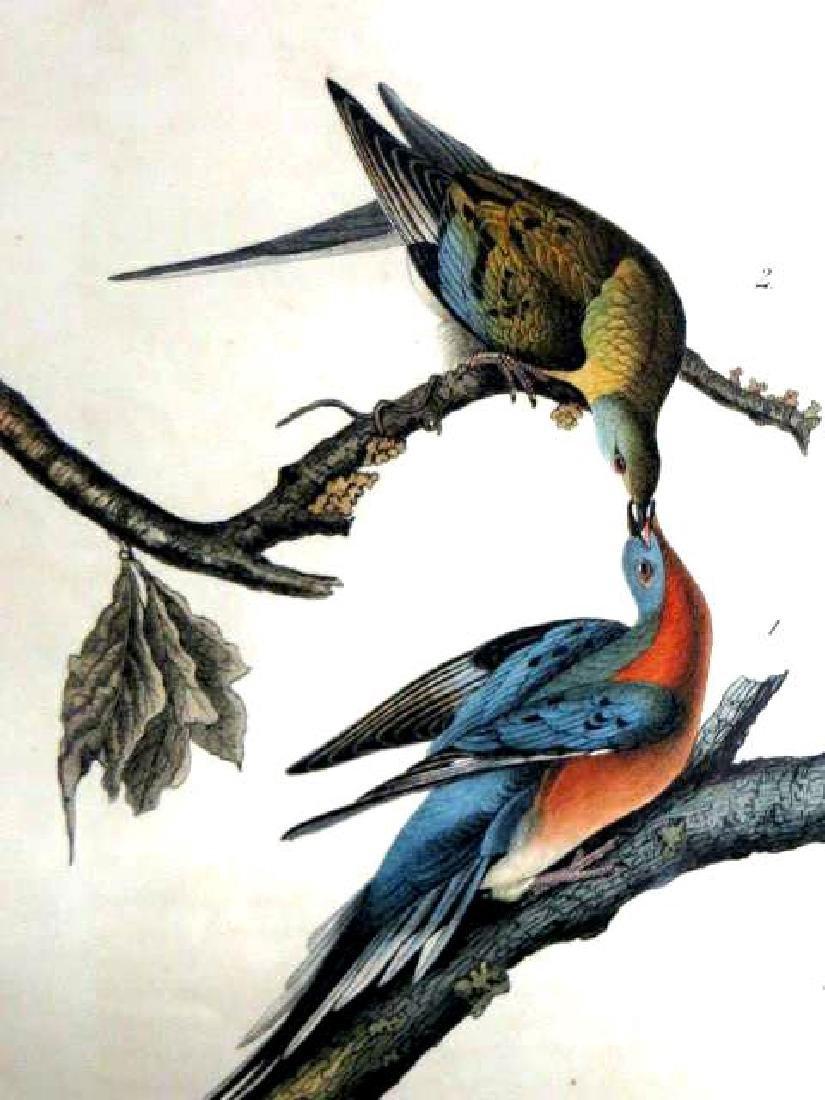 J.J. Audubon. Octavo. Passenger Pigeon No.285
