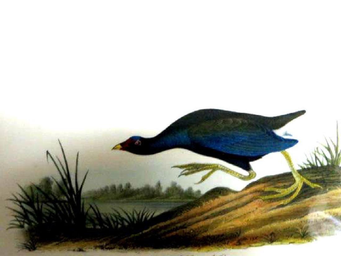 J.J. Audubon. Octavo. Purple Gallinule No.303