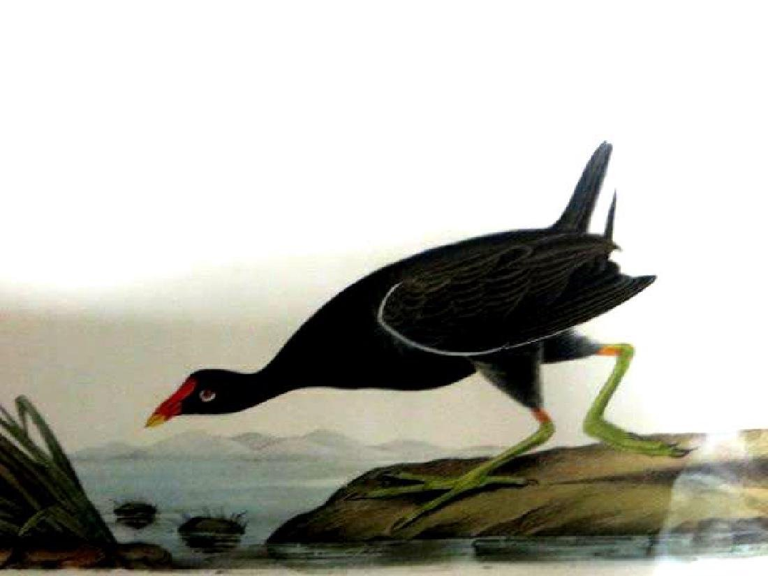 J.J. Audubon. Octavo. Common Gallinule No.304