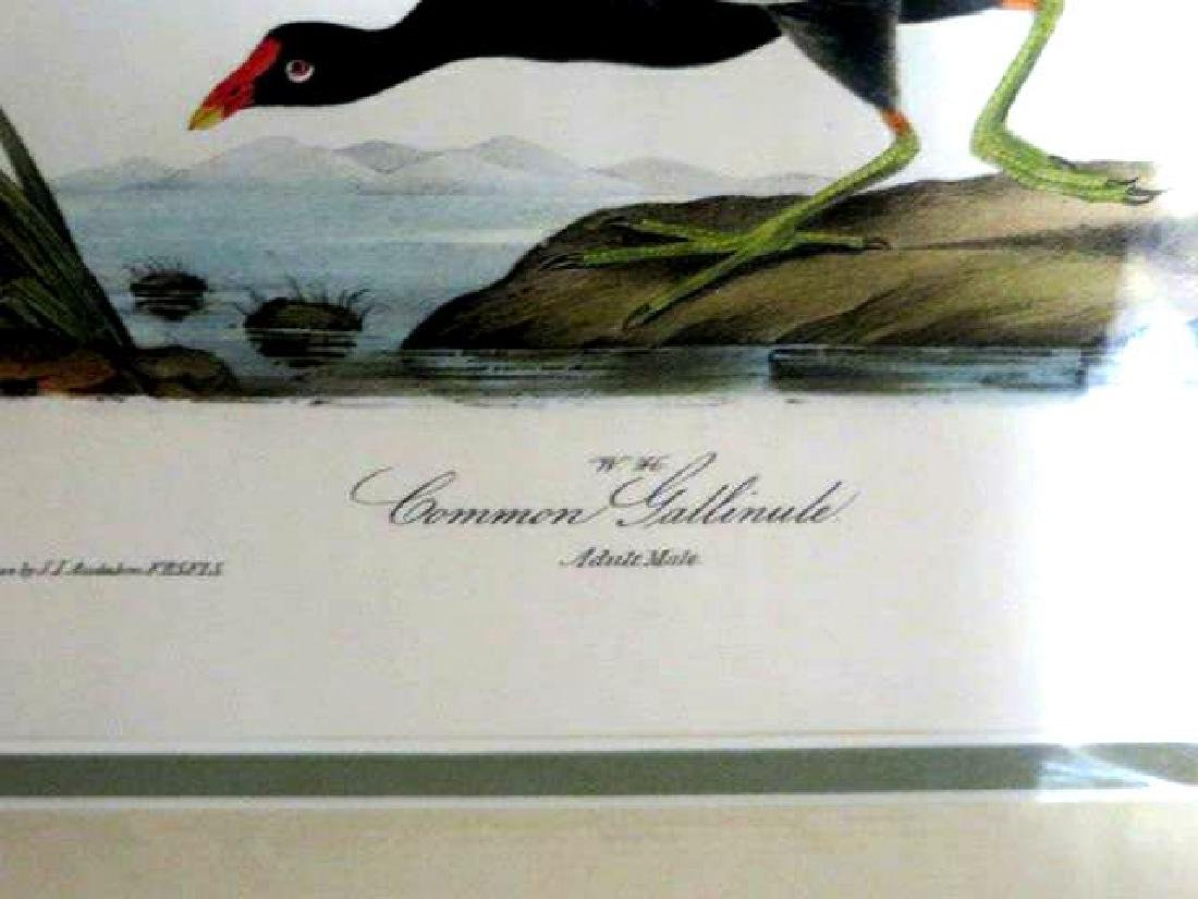 J.J. Audubon. Octavo. Common Gallinule No.304 - 2