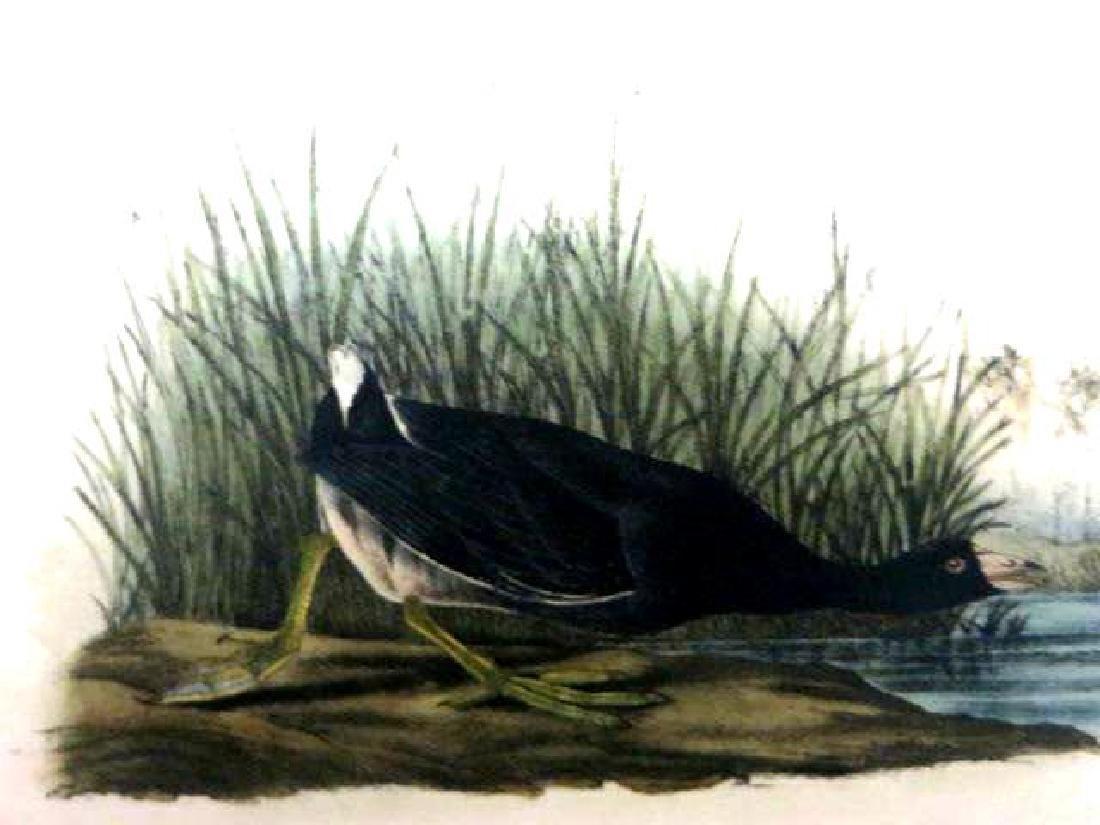 J.J. Audubon. Octavo. American Coot No.305