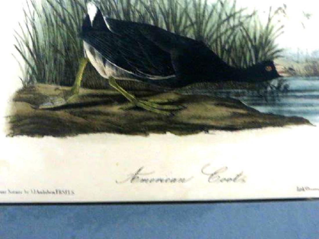J.J. Audubon. Octavo. American Coot No.305 - 2