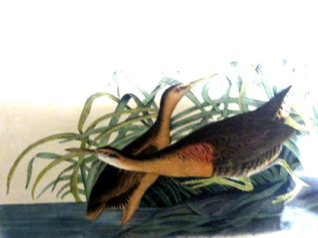 J.J. Audubon. Octavo. Great Red Breasted Rail or Fresh