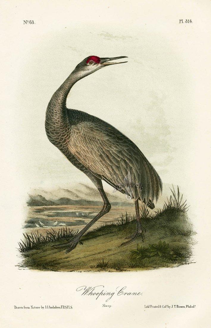 J.J. Audubon. Octavo. Whooping Crane (Young) No.314