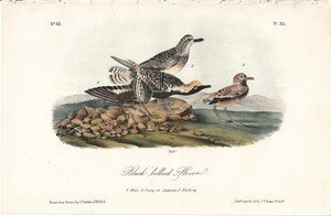 J.J. Audubon. Octavo. Black-Bellied Plover No.315