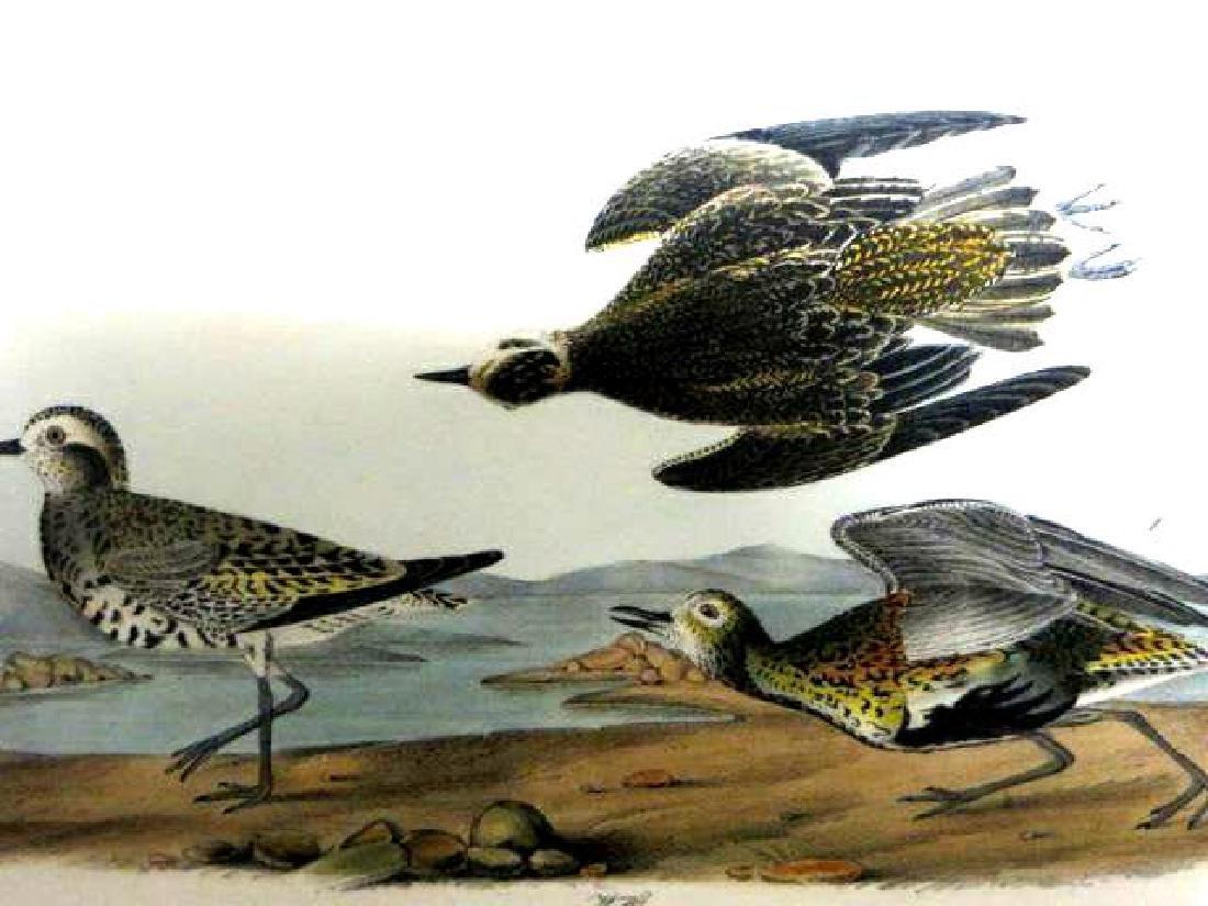 J.J. Audubon. Octavo. American Golden Plover No.316