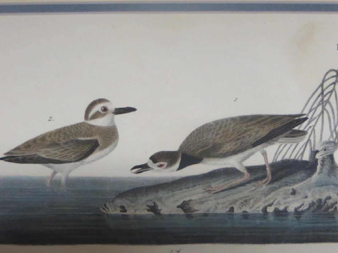 J.J. Audubon. Octavo. Wilsons Plover No.319