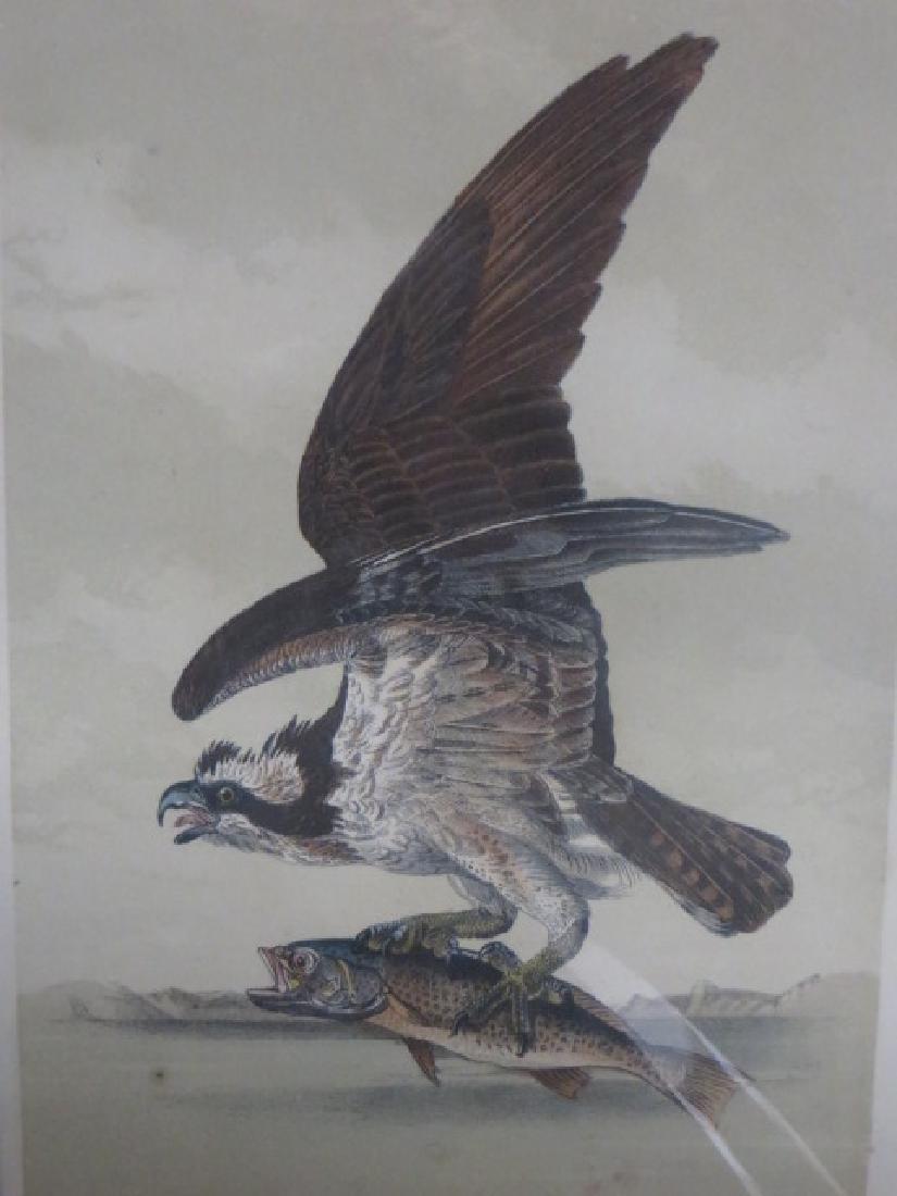J.J. Audubon. Octavo. Common Caprey Fish Hawk No.15
