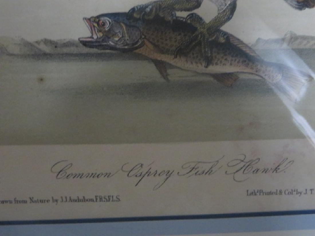 J.J. Audubon. Octavo. Common Caprey Fish Hawk No.15 - 2