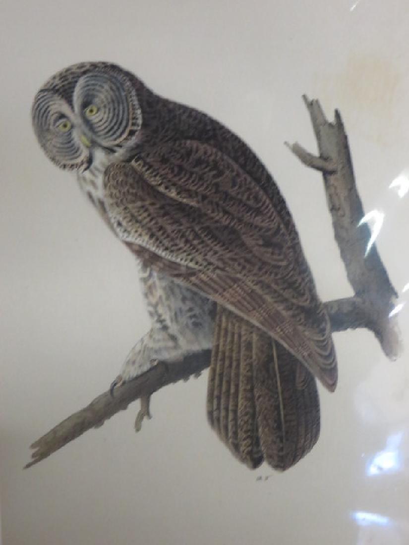 J.J. Audubon. Octavo. Great Cinereous Owl No.35