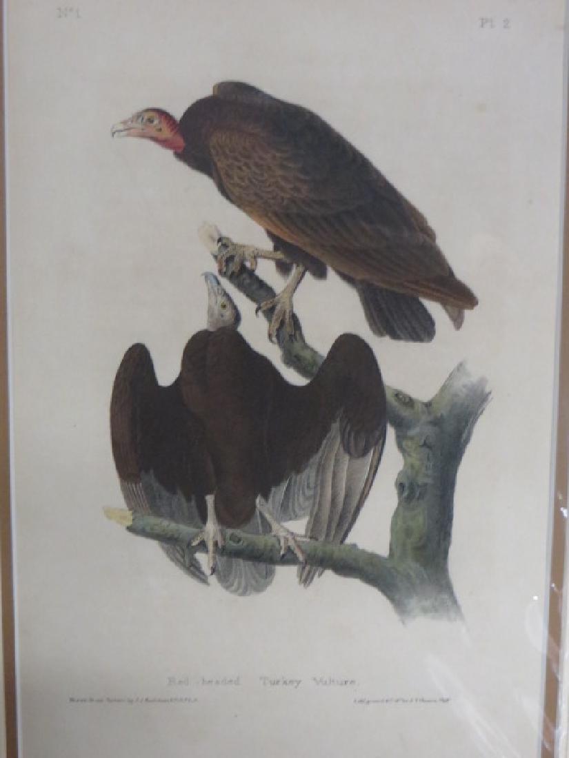 J.J. Audubon. Octavo. Red-Headed Turkey Vulture No.2