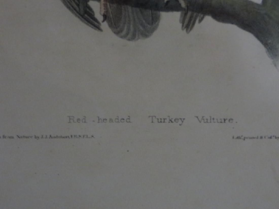 J.J. Audubon. Octavo. Red-Headed Turkey Vulture No.2 - 2