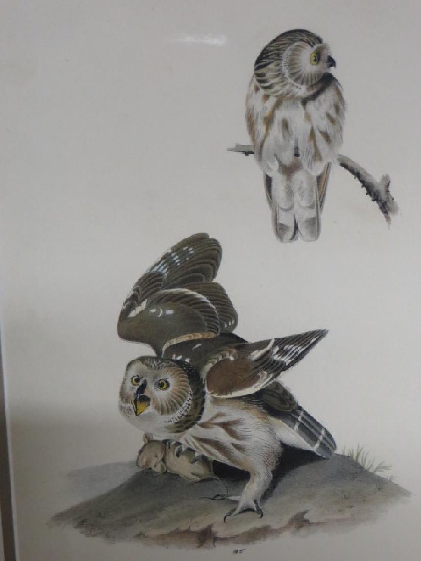 J.J. Audubon. Octavo. Little or Acadian Owl No.33