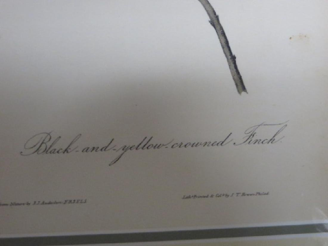 J.J. Audubon. Octavo. Black & Yellow Crowned Finch - 2