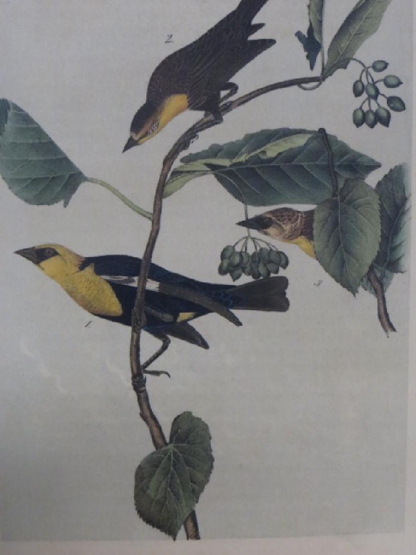 J.J. Audubon. Octavo. Saffron Headed Marsh Black Bird