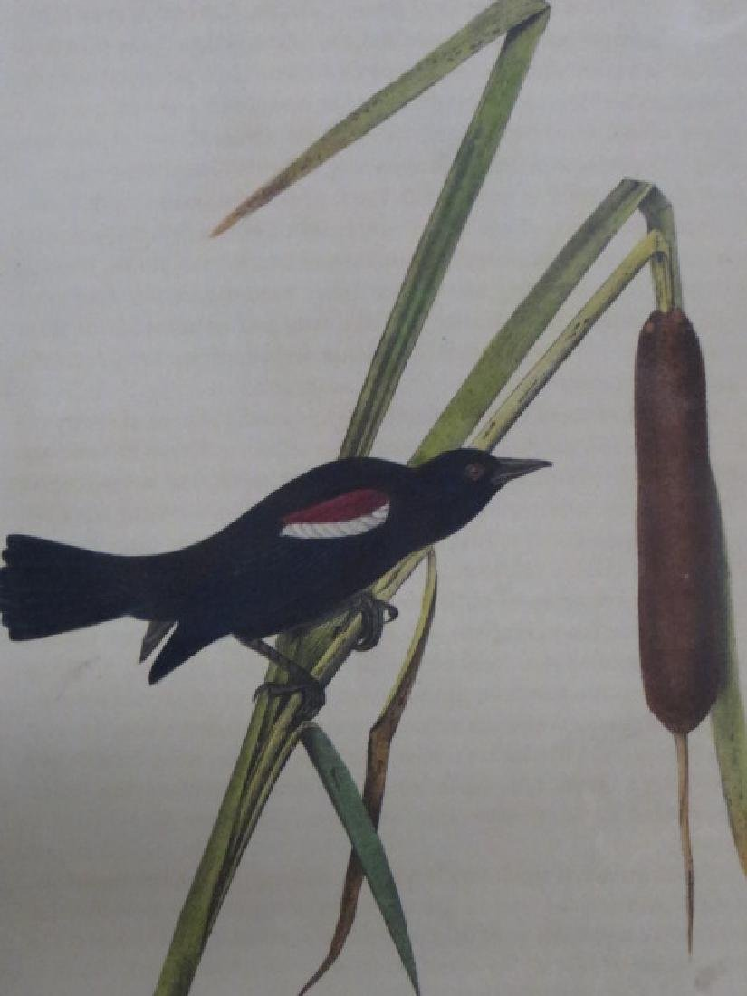 J.J. Audubon. Octavo. Red-And-White-Shouldered Marsh