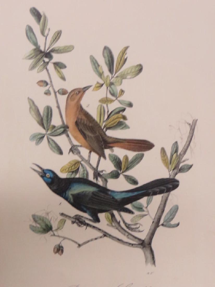 J.J. Audubon. Octavo. Boat Tailed Grackle No.220