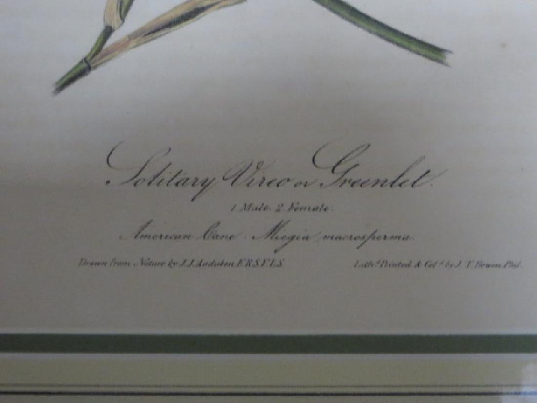 J.J. Audubon. Octavo. Tolitary Vire or Greenlet No.239 - 2
