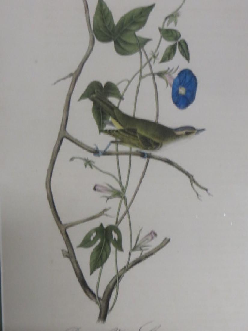 J.J. Audubon. Octavo. Bartrams Vireo or Greenlet No.242